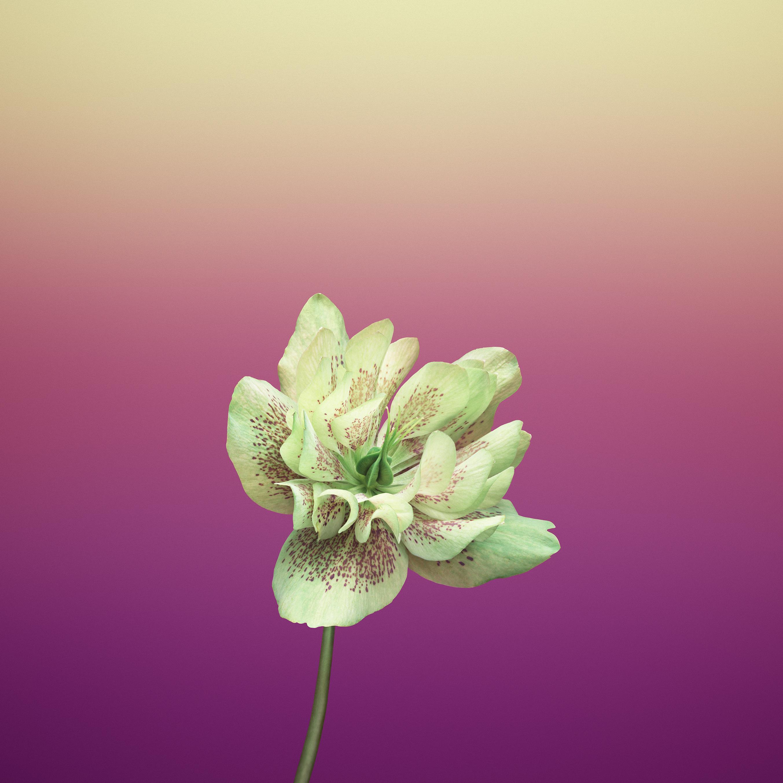 Flower_HELLEBORUS - TechFoogle